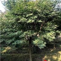 中国红枫/成都红枫基地/红枫价格6-10cm红枫