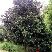 四川成都供应广玉兰 广玉兰绿化深夜草莓视频app下载 白玉兰