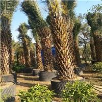 常绿景观风景热带树中东海枣批发价大量供应