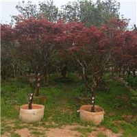 中山园林绿化景观苗木种植场供应红枫