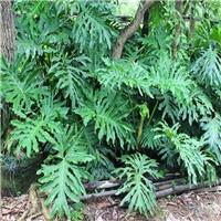 水培土培净化空气绿植春羽低价大量批发