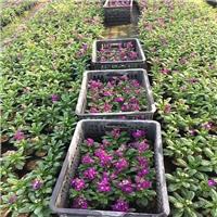 庭院园林景观供应盆栽花卉紫罗兰量大从优厂