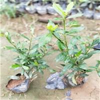 福建绿化苗木种植基地大量供应小叶栀子花