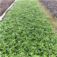福建绿化苗木种植基地大量供应小叶栀子花厂
