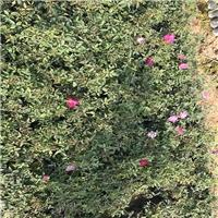 精选四季开花观花植物丰花月季质优价廉厂