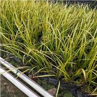 四季常青地被护坡小苗金叶石菖蒲大量供应厂