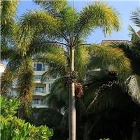 行道景不雅观树狐尾椰子多规格长期供应