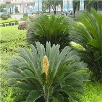 庭院绿化乔木苏铁常年批发价供应质优价廉