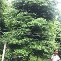 胸径8公分桢楠树