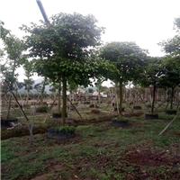 园林绿化工程用秋枫常年面向全国批发价供应厂