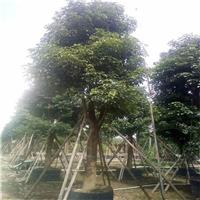 园林绿化工程用秋枫常年面向全国批发价供应