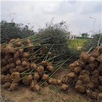 专供1-4公分刚竹,产地直销,量大