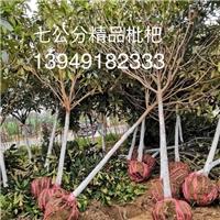 潢川枇杷价格 潢川枇杷树价格