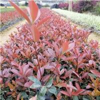 2020的红叶石楠在广东什么价格