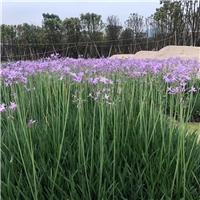 湖北地区有供应规格齐全紫娇花吗?