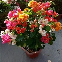优质三角梅品种多花色全存活率高