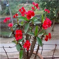 四季常青常开花虎刺梅长期大量供应