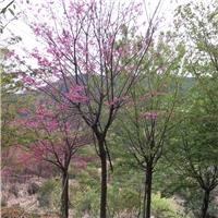 樱花 漳州基地直销 庭院街道风景树