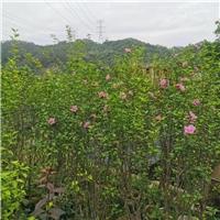 木槿花 庭院街道 耐热花卉 四季开花