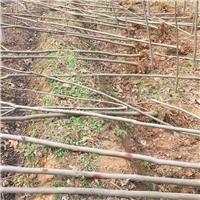 专供黄山栾树、南栾,1-20公分,量大,价低