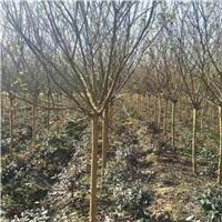 红花紫薇产地,1-15公分,大量供应,价低
