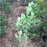 大叶黄杨色块苗产地,量大、优质苗、成活率高