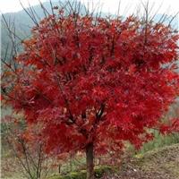 供应1-15公分日本红枫