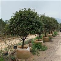 红叶石楠1~2.5米  四季常青漳州基地直销