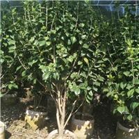 茶花1.5~2.5米 四季开花不竭 漳州基地直销