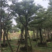 基地直销四季常青绿化香樟多规格大量供应