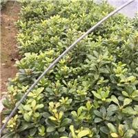 专供海桐苗,30-50公分高,量大,价低