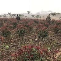 专供红叶石楠球,30-2米冠幅,大量供应,价低
