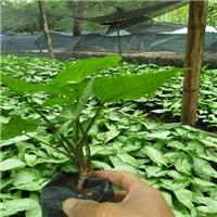 漳州哪里有优质适应性强生长健壮合果芋厂