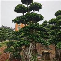 榕树5公分~1米