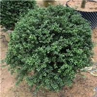 非洲茉莉球1~1.8米 四季常青净化空气