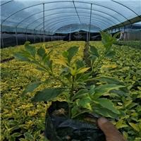 基地大量供应金边假连翘四季开花常绿灌木