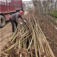 专供百日红紫薇,1-15公分,量大,价低