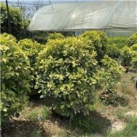 黄金榕树60~1.8米 漳州基地直销