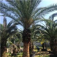 加拿利海枣50~3米常绿耐寒高档行道树