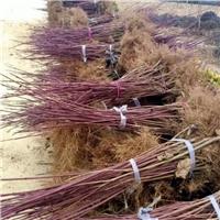 专供红瑞木、红杆木,50公分-1米0.65上车