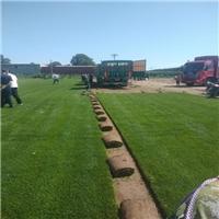 哪里有卖草坪泰安绿化草坪多少一平米