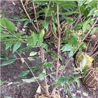 专供丛生腊梅,3-5分枝,2米高,量大