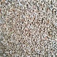 沙枣种子价格低/质量好/发货快/服务全