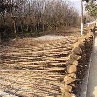 水杉基地苗3-15公分大量供应,3公分8块上车