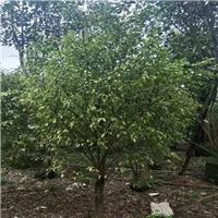 多规格常绿风景树花叶垂叶榕长期大量供应