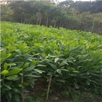 绿化工程树种大叶相思常年低价直销规格齐全