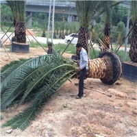 福建绿化风景树加拿利海枣大量批发价供应厂