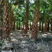 基地直销绿化风景树高杆蒲葵质优价廉