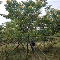 产地直销价格实在绿化景观树黄花槐