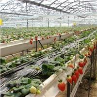 淡雪莓种植架红颜草莓育苗种植槽规格定做